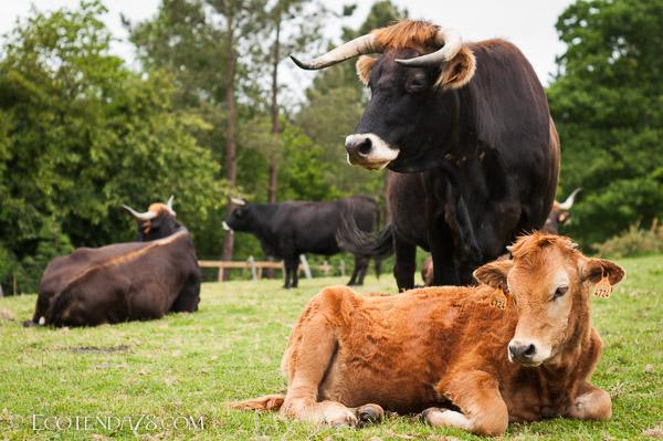 Carne de Tenreira Ecolóxica